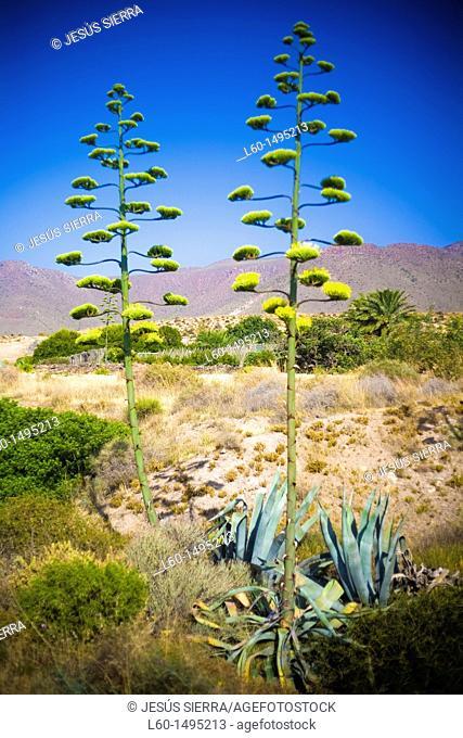 Agave Americana, Natural Park Cabo de Gata, Almeria, Spain