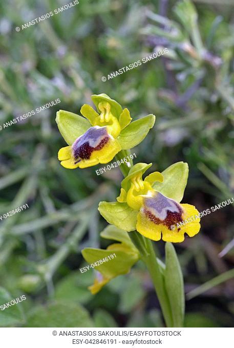 Ophrys phryganae, Leros, Greece
