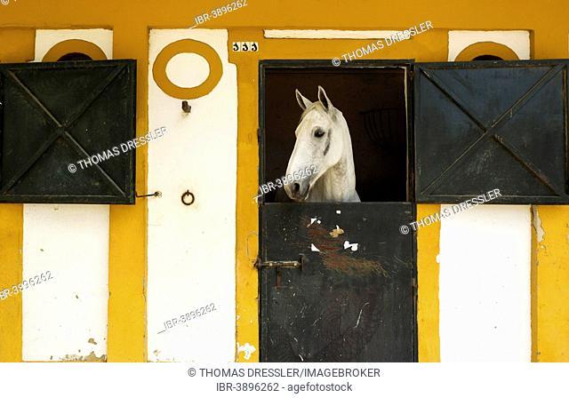 Mare in her box stall during the Feria del Caballo Horse Fair, Jerez de la Frontera, Cádiz province, Andalusia, Spain