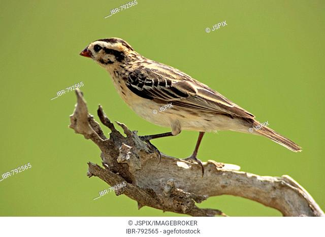 Pin-tailed Whydah (Vidua macroura), female, Sabie Sand Game Reserve, South Africa