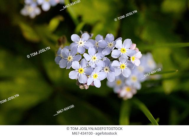 Wood Forget Me Not flowers close up (Mysotis sylvatica) , England , UK