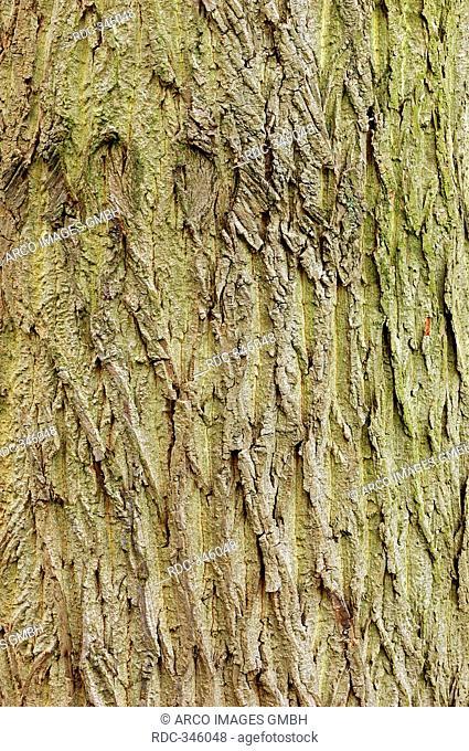 White Poplar bark, North Rhine-Westphalia, Germany / Populus alba / Silver Poplar