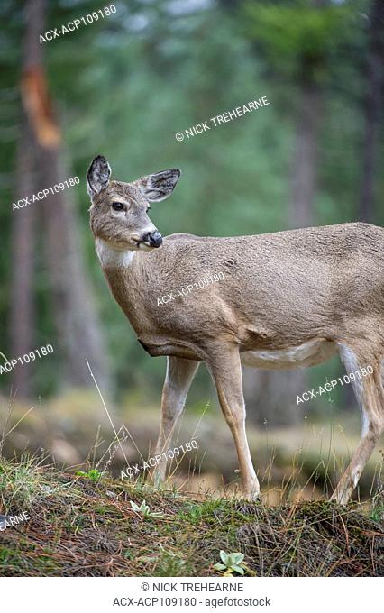 Female Whitetail Deer, Odocoileus virginianus, Central Idaho, USA