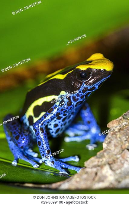 """Dendrobates tinctorius """"""""cobalt"""""""", Understory Enterprises, Captive raised, Native to: Guyana, Suriname, Brazil, and nearly all of French Guiana"""