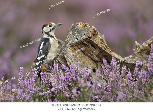 Great Spotted Woodpecker ( Dendrocopos major ), young bird, sitting at a rotten tree stub in blossoming heather, wildlife, Europe