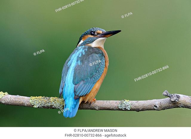 Common Kingfisher (Alcedo atthis) adult female, perched on branch over river, River Dove, Staffordshire, England, August