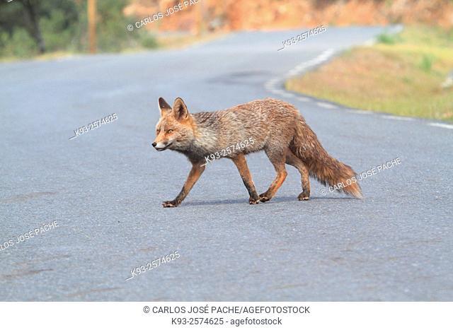 Red Fox (Vulpes vulpes). Monfrague National Park, Extremadura, Spain