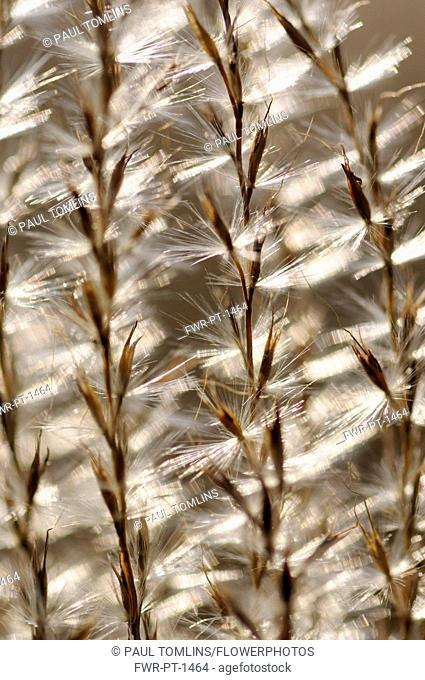 Eulalia grass, Miscanthus sinensis 'Kleine Silberspinne', Close abstract pattern of fronds bearing fluffy seeds, backlit