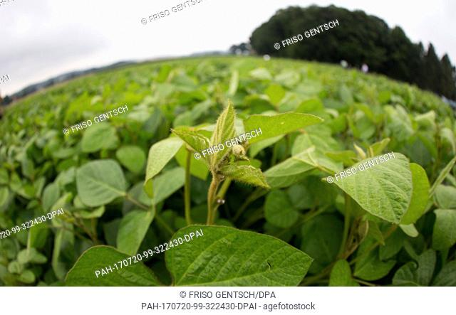 Soy plants growing on a field during the Field Day for Soy Cultivation of the Agricultural Chamber of Lower Saxony in Belm, Germany, 20 July 2017