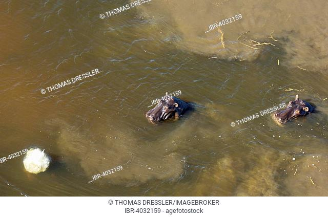 Hippopotamuses (Hippopotamus amphibius) in a freshwater marsh, aerial view, Okavango Delta, Moremi Game Reserve, Botswana