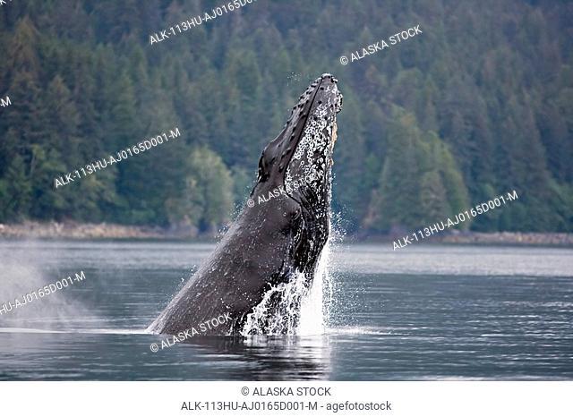 Humpback whale breaching Inside Passage Southeast Alaska Summer Tongass National Forest