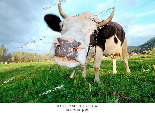 Cow on pasture, Transilvania, Romania, Europe