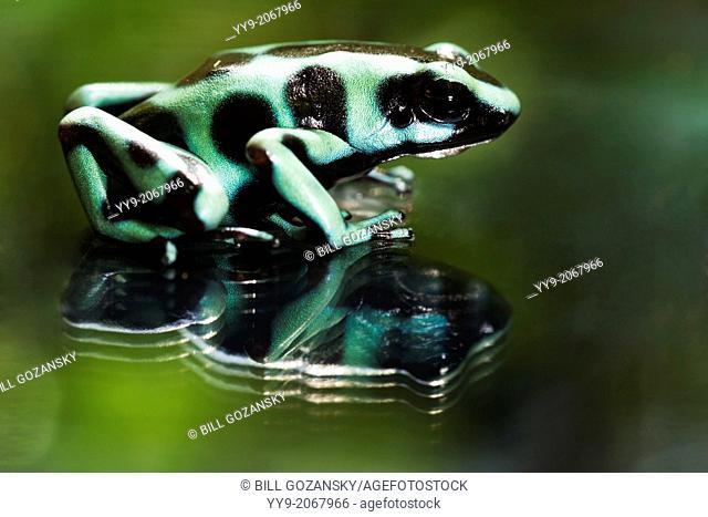 Green and Black Poison Dart Frog - La Lgauna del Largarto Lodge, Boca Tapada, San Carlos, Costa Rica