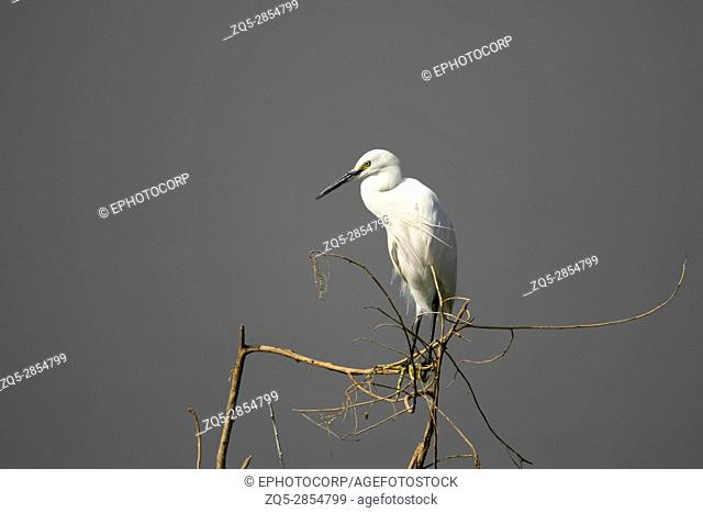 Little Egret, Egretta garzetta, perched on branch of tree, near Bhigwan, Maharashtra