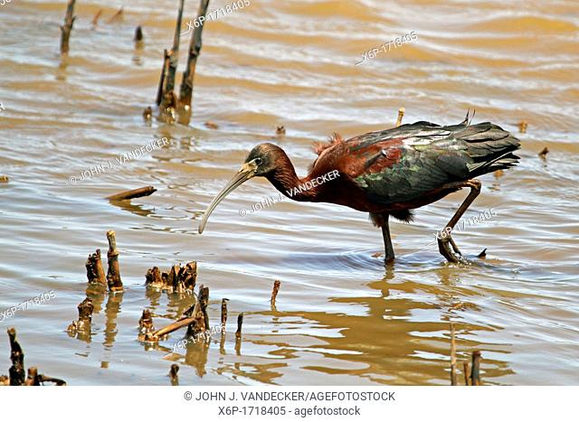 A Glossy Ibis, Plegadis falcinellus, searching for food in a saltmarsh  Edwin B  Forsythe National Wildlife Refuge, Oceanville, New Jersey, USA
