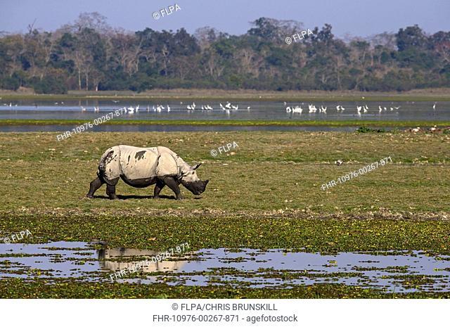 Indian Rhinoceros (Rhinoceros unicornis) adult, walking in wetland habitat, Kaziranga N.P., Assam, India, January