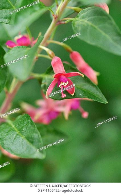 Fuchsia Fuchsia lycioides