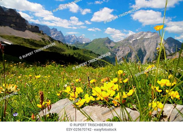 alpine flowers in the mountains