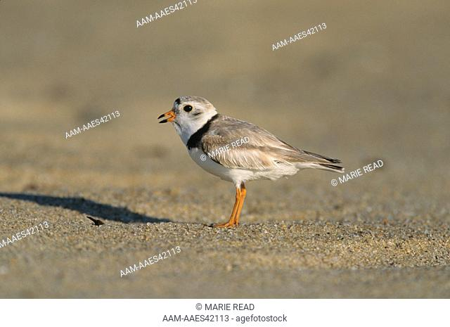 Piping Plover male calling (Charadrius melodus) Martha's Vineyard - MA, Massachusetts