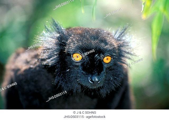 Black Lemur,Lemur macaco,Nosy Komba,Madagascar,Africa,adult male portrait