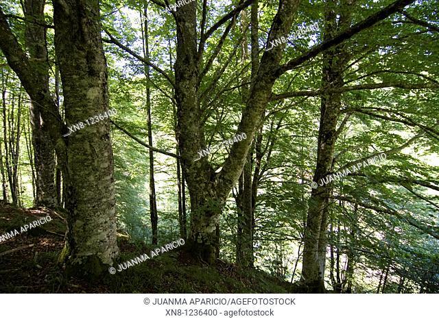 Irati forest, Navarra, Spain