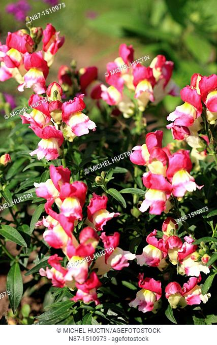 or snapdragon snapdragon herb of the family Scrophulariaceae