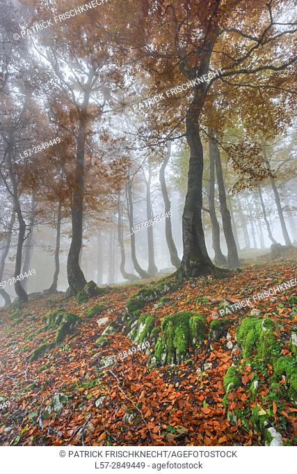 beech tree forest in autumn, Switzerland