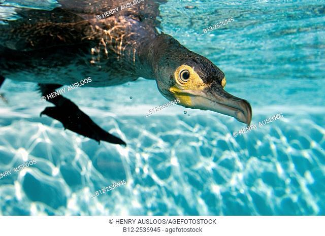 Cormorant - diving - Phalacrocorax carbo - Semi-captive