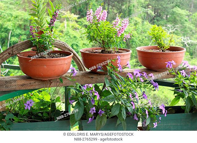 Lavender flowers in pots