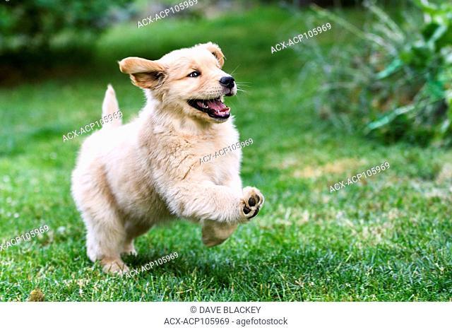 An 8 week old Golden Retriever puppy playing