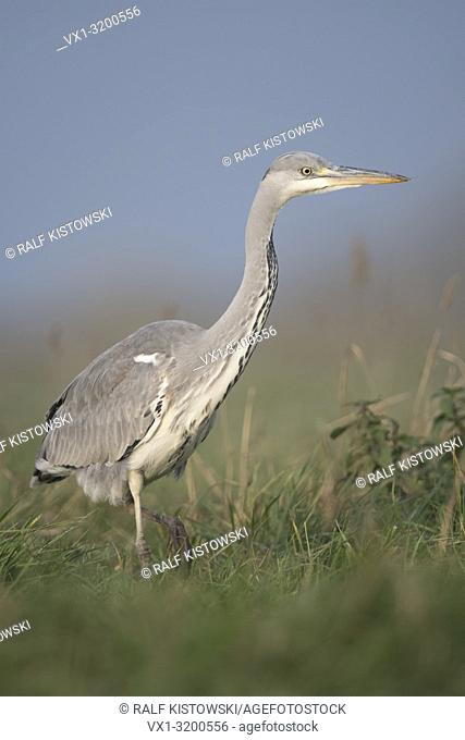 Grey Heron ( Ardea cinerea ), slowly moving through high grass of a meadow, hunting, watching for prey, close, wildlife, Europe