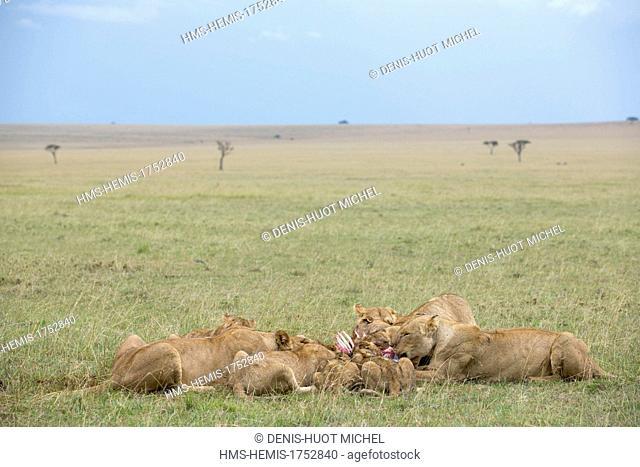 Kenya, Masai-Mara game reserve, lion (Panthera leo), pride feeding