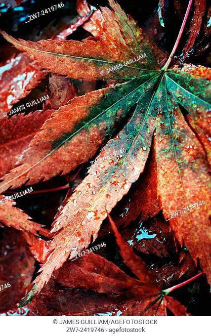 Fallen Acer palmatum leaves