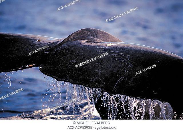 Humpback Whale, Megaptera Novaeangliae, Hawaii, Maui, United States