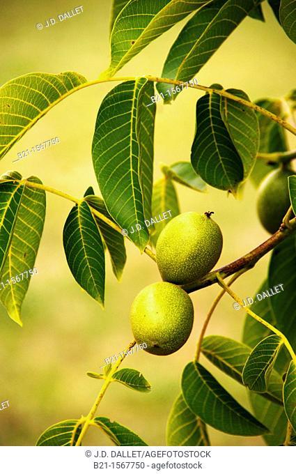 Nuts, Dordogne, Aquitaine, France
