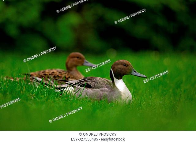 Northern Pintail, Anas Acuta, pair sitting in the green grass. W
