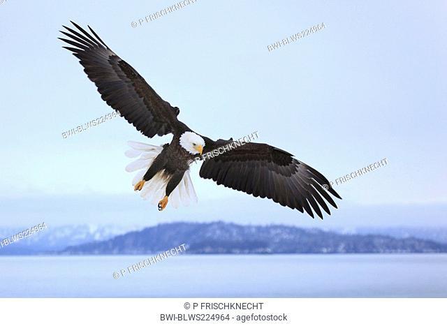 American bald eagle Haliaeetus leucocephalus, flying, USA, Alaska, Kenai Peninsula, Homer Spit