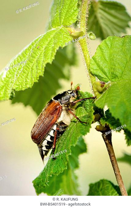 Common cockchafer, Maybug, Maybeetle (Melolontha melolontha), sitting on a leaf, side view, Germany, Baden-Wuerttemberg
