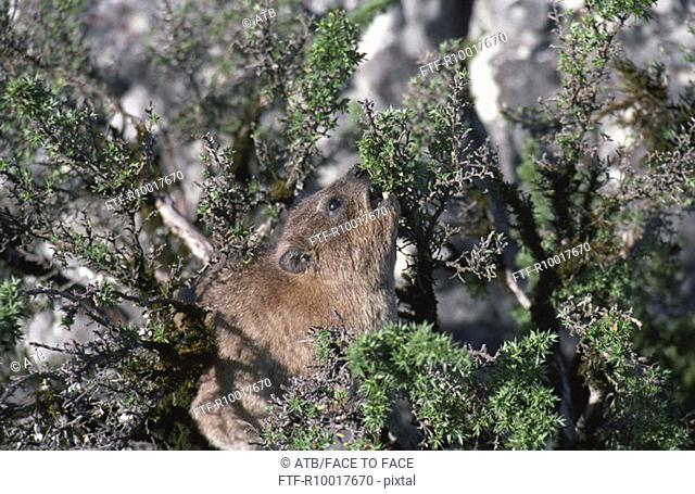 Rock Dassie eating leaves from tree, Table Mountain, Cape Town