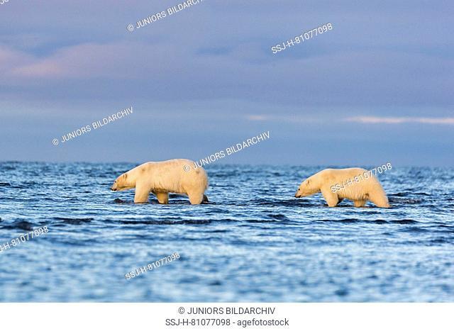 Polar Bear (Ursus maritimus, Thalarctos maritimus). Two individuals walking in shallow water. Kaktovik, Alaska. Every fall polar bears gather near Kaktovik on...