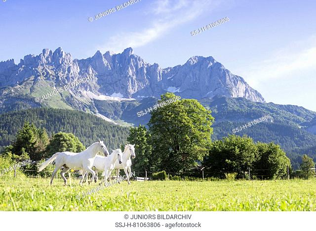 Lipizzan horse. Three adult mares trotting on a pasture with the Kaiser Mountains in background. Austria