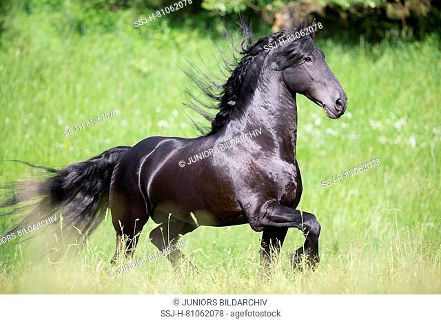 Friesian Horse. Black stallion trotting on a meadow. Austria