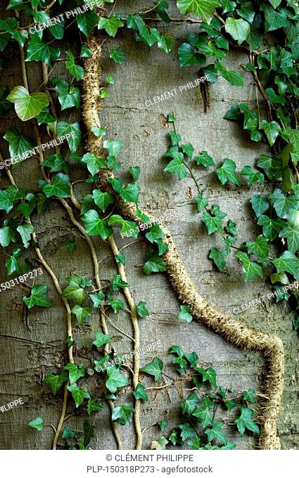 Common ivy (Hedera helix) stem showing rootlets used to cling to tree trunk
