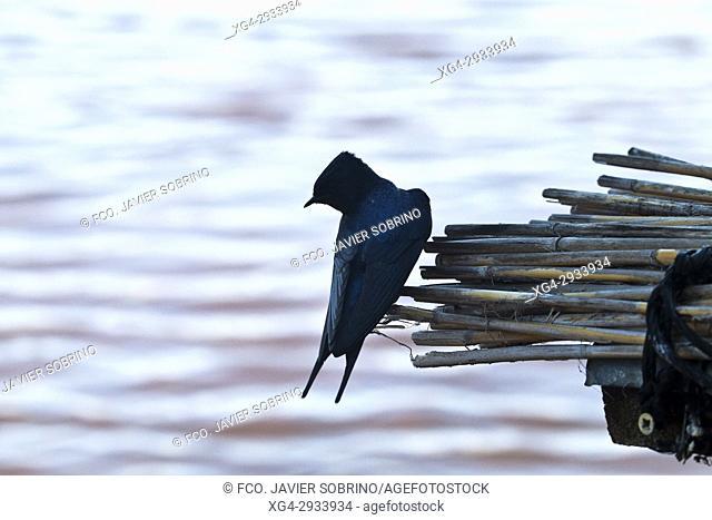 Swallows. Parque Nacional de las Tablas de Daimiel. Ciudad Real. Castilla La Mancha. Spain