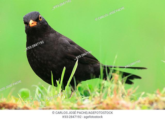 Common blackbird (Turdus merula) in a dehesa, Extremadura, Spain