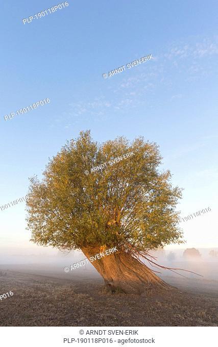 Lone pollard willow / pollarded white willow (Salix alba) in field in the mist in autumn