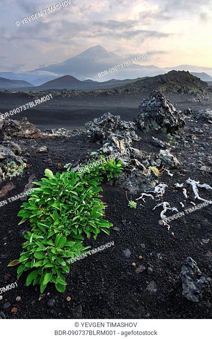 plant growing on lava field in Tolbachik volcano area on Kamchatka