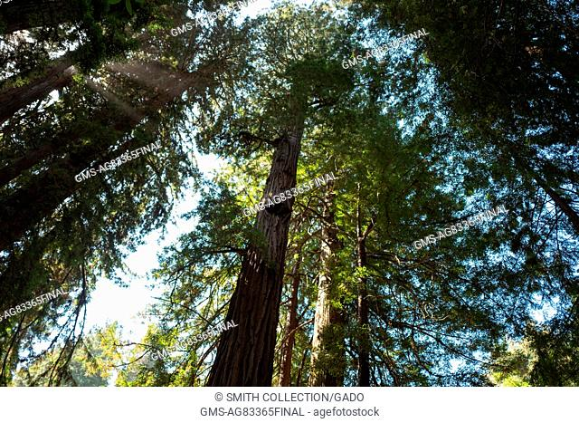 The canopy created by tall trees as seen from below at Muir Woods National Monument, Mill Valley, California, September 5, 2016