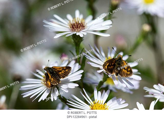 Skipper butterflies (Hesperiidae) feed on Aster blossoms in a garden; Astoria, Oregon, United States of America
