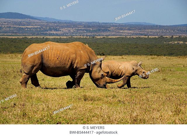 white rhinoceros, square-lipped rhinoceros, grass rhinoceros (Ceratotherium simum), female with juvenile, Kenya, Solio Ranch